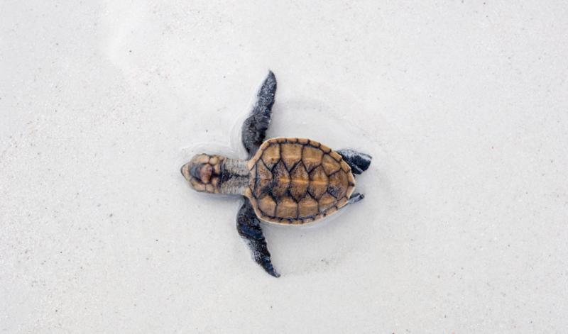 turtles-kenya-dianibeach-kitemotion-kitesurfing